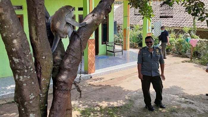 Monyet Liar Serang Warga Pandeglang