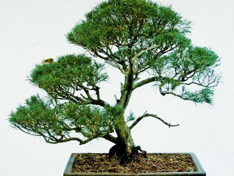 Bonsai Tree Of Casuarina tree, India
