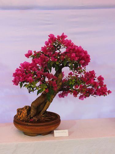 Bougainvillea bonsai plant, Pune