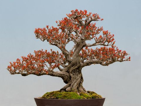 Potted Twisted Pomegranate (Punica granatum) bonsai tree against blue background