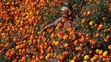 Bunga Ini Bikin Ladang di Nepal Berubah Warna Jadi Oranye