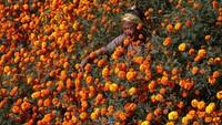 Bunga marigold yang bermekaran di kawasan tersebut membuat area itu menjadi berwarna oranye.