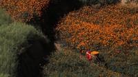 Momen bermekarannya bunga marigold pun kerap dinanti oleh warga sekitar. Pasalnya, bunga-bunga marigold itu akan dirangkai menjadi karangan bunga untuk beragam festival maupun perayaan yang digelar di Nepal.