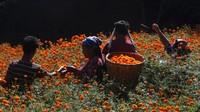 Sejumlah warga tengah memetik bunga marigold yang bermekaran di kawasan Kathmandu, Nepal.