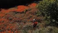 Tak heran, saat bunga-bunga marigold bermekaran, warga pun berdatangan untuk memetik bunga berwarna oranye tersebut.