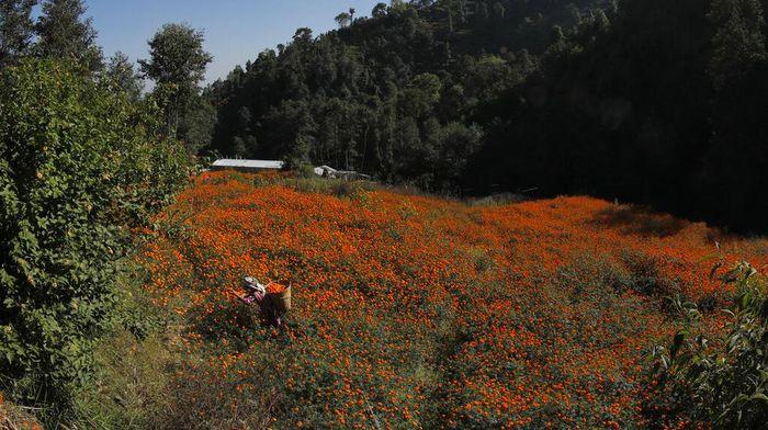 Bunga marigold yang bermekaran di kawasan Nepal membuat area itu menjadi berwarna oranye. Bunga ini kerap terlihat di berbagai perayaan atau festival di Nepal.