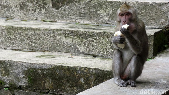 Sejumlah tempat wisata di area Merapi ditutup. Agar makanan yang dijual tak terbuang, sejumlah pedagang memberikannya pada kera ekor panjang di kawasan tersebut