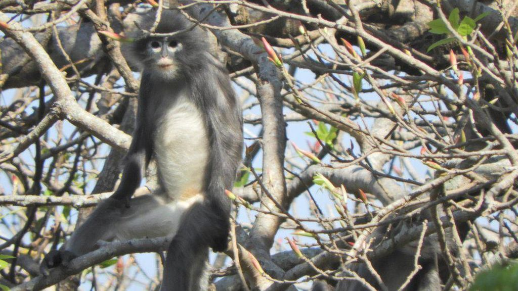 Spesies Monyet yang Baru Ditemukan di Myanmar Terancam Punah