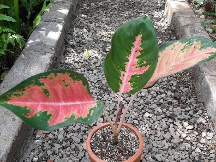 Aglonema Red Sumatera atau Aglonema Merah Sumatera