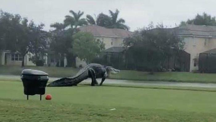 buaya di lapangan golf di florida