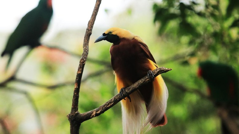 The most famous Cenderawasih bird is a member of the Paradisaea genus, including its type species, the large yellow-Cenderawasih, Paradisaea apoda. This type is described from specimens brought to Europe from trade expeditions. This specimen was prepared by native traders by removing their wings and legs so that they could be used as decorations. This is unknown to explorers and has led to the belief that this bird never landed but remained in the air because of its feathers. This is the origin of the name bird of paradise (bird of paradise by the British) and the name of the type of apoda - which means legless.
