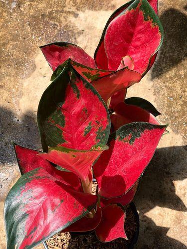 aglonema merah