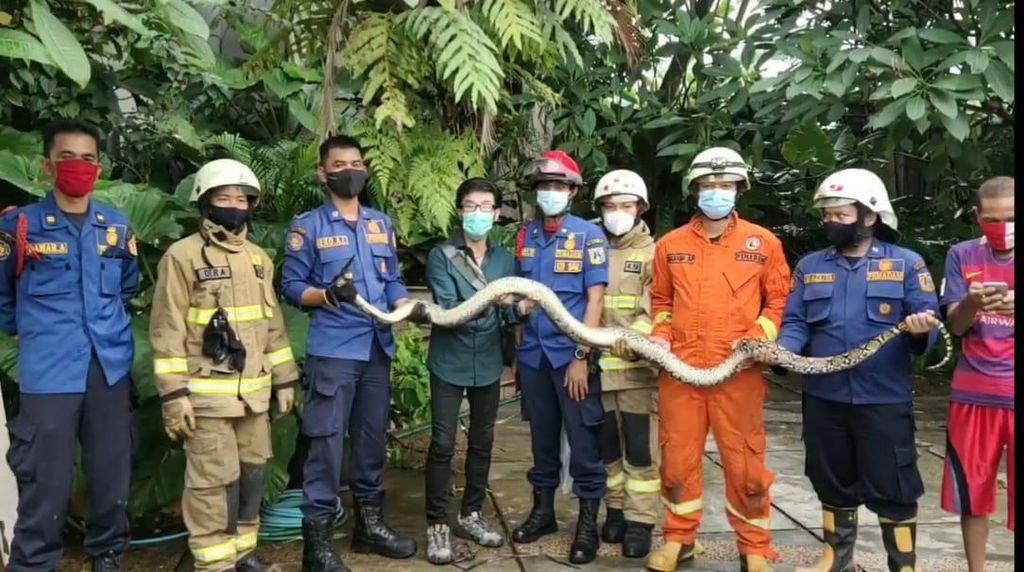 Petugas Damkar Evakuasi Ular Sanca 3 Meter di Saluran Air Warga Ragunan