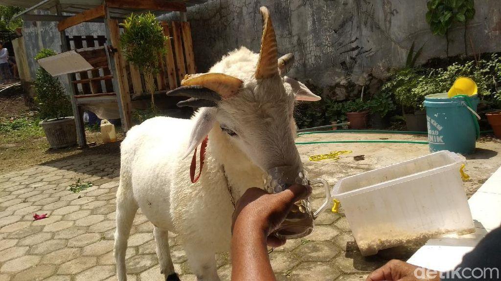 Unik, Domba Bertanduk Lima di Kuningan Ini Suka Minum Kopi