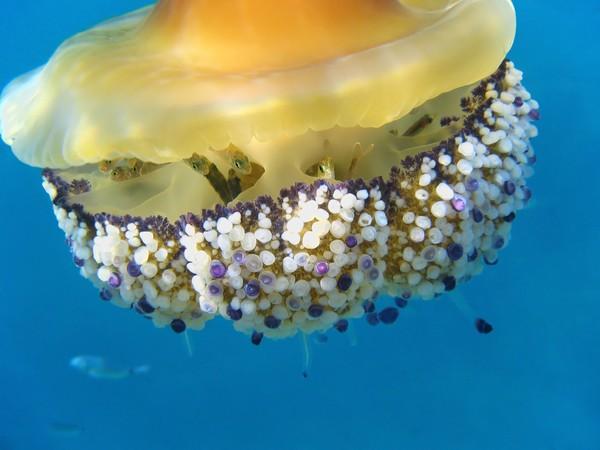 Ubur-ubur ini hidup di kolom laut dan menjadi tempat persembunyian juvenil ikan.