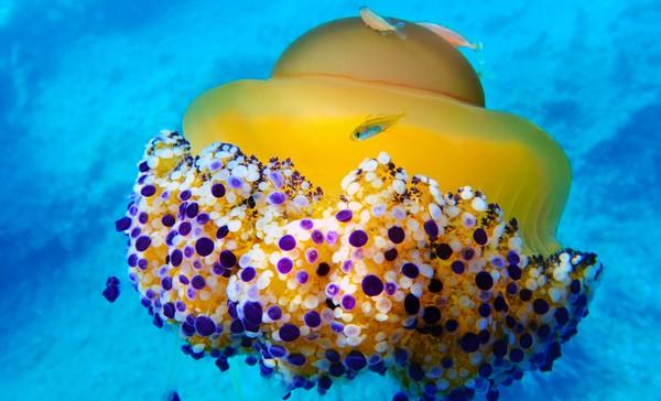 Ubur-ubur telur ceplok hidup dengan memakan zooplankton.
