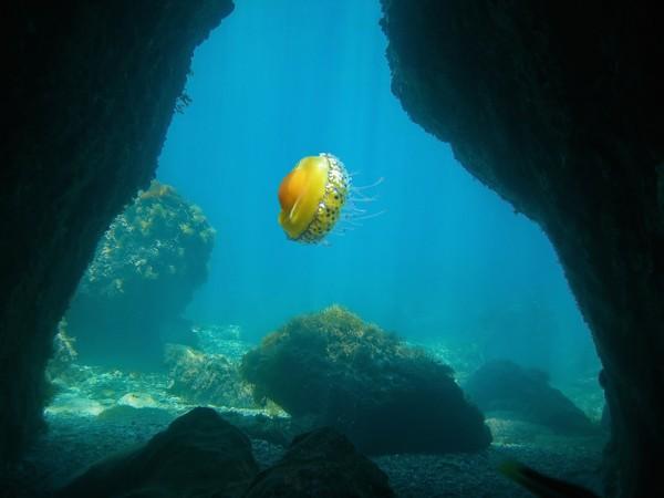 Ubur-ubur ini hidup di Laut Mediterania.