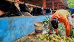 94 Ekor Sapi Perah Diungsikan dari Lereng Merapi
