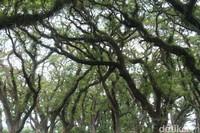 Kini, hutan De Djawatan di destinasi Banyuwangi sudah menduduki posisi kunjungan lima besar.