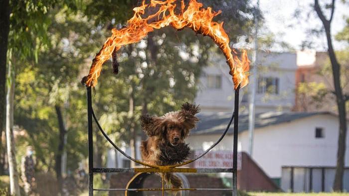 Umat Hindu tengah melaksanakan Festival Diwali. Salah satunya rangkaiannya adalah Kukur Tihar atau festival penghormatan untuk anjing.