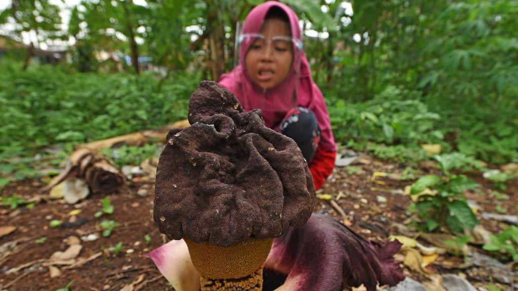 Bunga Bangkai Ini Mekar di Kebun Milik Warga