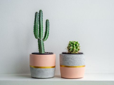 Green cactus plants in beautiful concrete planters on white shelf isolated on white background.