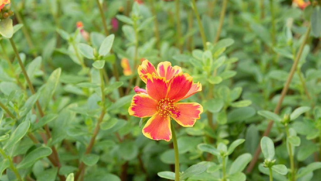 15 Jenis Tanaman Hias Bunga yang Cocok untuk Mempercantik Rumah