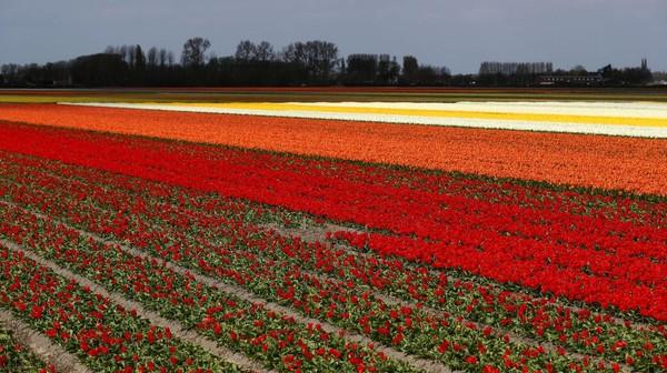 Pemandangan udara dari perkebunan Tulip di sebelah Keukenhof Gardens, Lisse, Belanda.