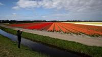 Gradasi warna bunga tulip berjejer indah menghiasi lahan yang luas.