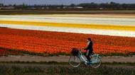 Indahnya Taman Bunga Tulip di Lisse Belanda