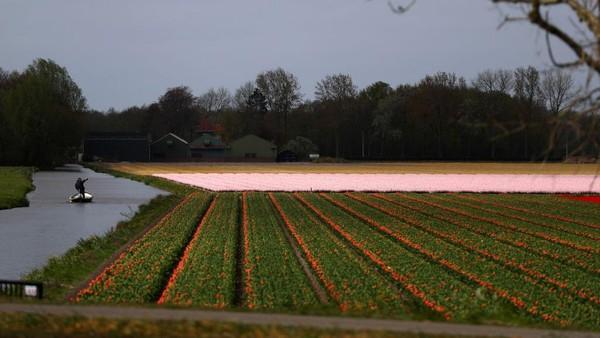 Saat terbaik untuk melihat bunga tulip adalah pertengahan bulan April.