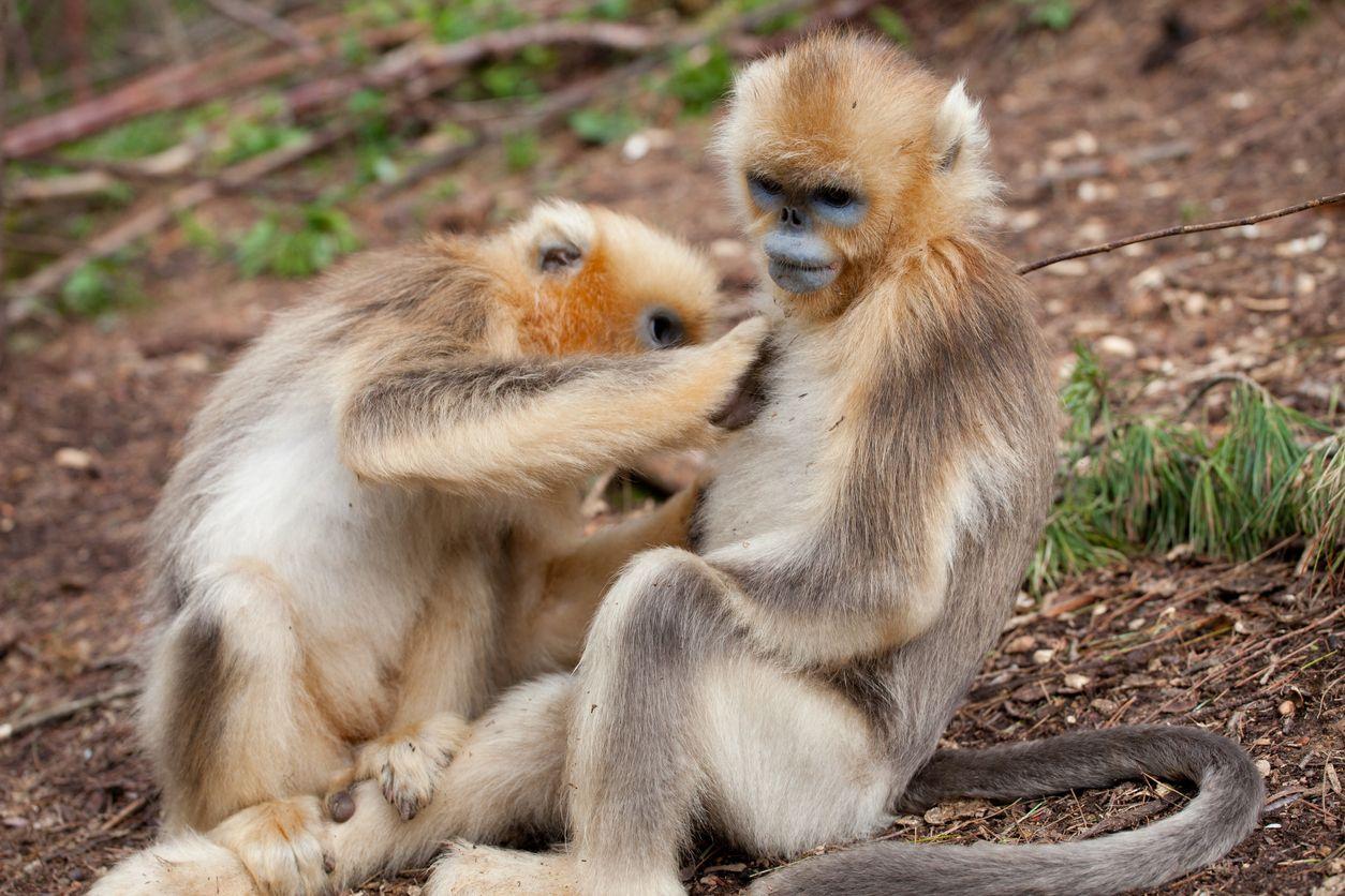 Monyet hidung pesek myanmar