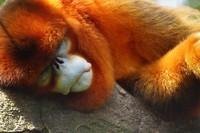 Monyet hidung pesek punya kebiasaan menarik, mereka akan bersin ketika hujan turun. (Getty Images/iStockphoto)