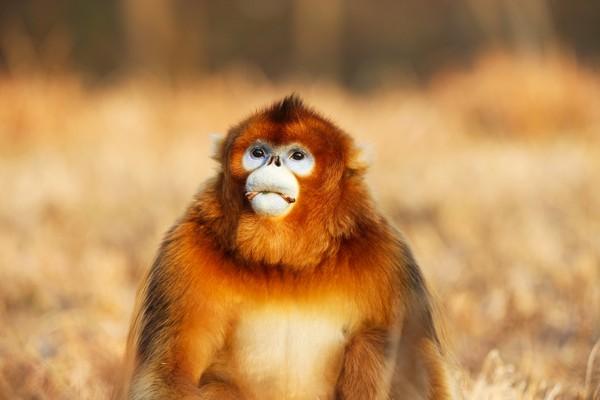 Nama latin dari primata ini adalah Rhinopithecus strykeri. (Getty Images/iStockphoto)