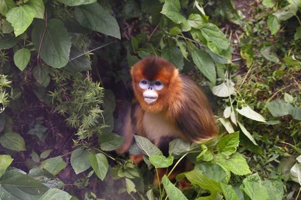 Dinyatakan sebagai spesies baru di tahun 2011, monyet hidung pesek sudah masuk dalam daftar primata paling langka di dunia. (Getty Images/iStockphoto)
