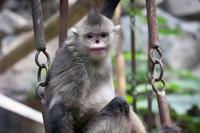 Monyet hidung pesek tinggal di hutan dengan ketinggian antara 2.600-3.100 meter(Getty Images/iStockphoto)