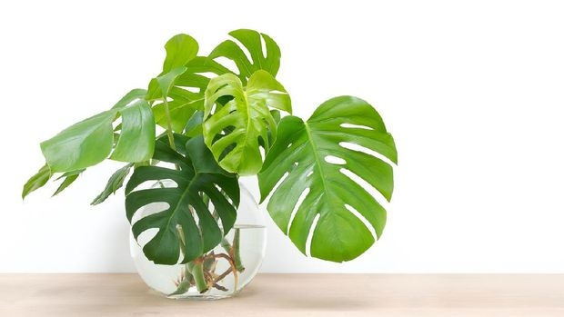 clean image of propagation of Philodendron Monstera, Swiss Cheese Plant leaves, cuttings in water rooting in glass vase, copy space