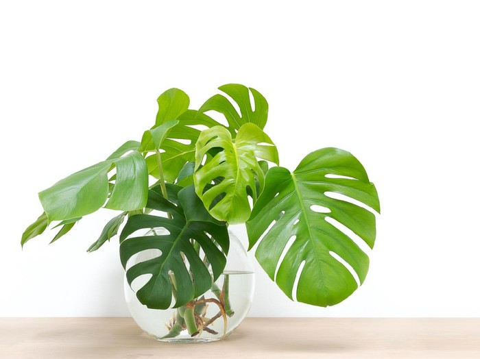 Philodendron Silver Cloud.