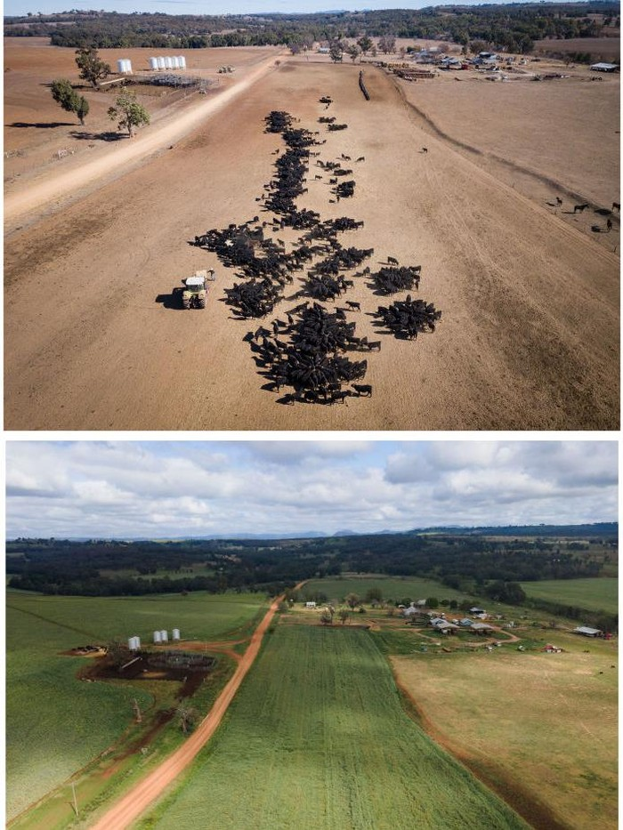 In this before-and-after composite image **TOP IMAGE** COONABARABRAN , NEW SOUTH WALES - JUNE 19: An aerial view of the cattle feeding operation on the property 'Toorawandi' owned by Coonabarabran farmer Ambrose Doolan and his wife Lisa. Both the couples children, Brett and Emily have returned home to work on the farm during the drought on June 19, 2018 in Coonabarabran, Australia. **BOTTOM IMAGE** COONABARABRAN, AUSTRALIA - OCTOBER 01: An aerial view of the property 'Toorawandi' owned by Coonabarabran farmer Ambrose Doolan and his wife Lisa on October 01, 2020 in Coonabarabran, Australia. During the height of the drought the property was little more than dust.  After consistent rains this year across NSW the property has rebounded. (Photos by Brook Mitchell/Getty Images)  TOP IMAGE ID# 1007071148 - BOTTOM IMAGE ID #1277914237