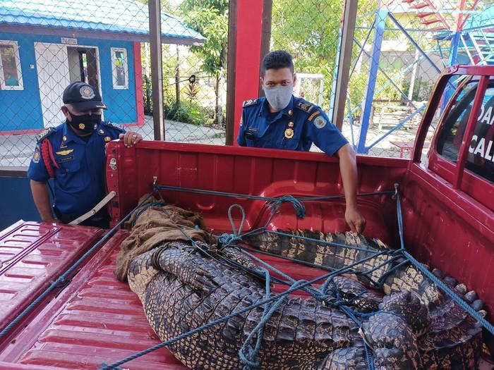 Buaya betina sepanjang 3 meter dievakuasi dari PT Badak di Bontang Kaltim