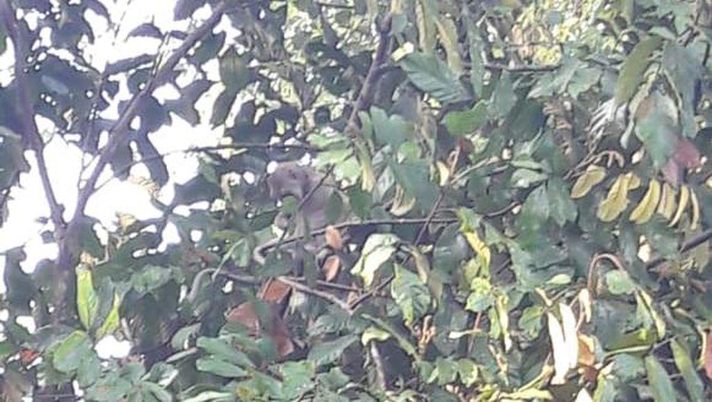 Monyet Masuk Permukiman di Lereng Merapi Magelang, Ini Kata TNGM