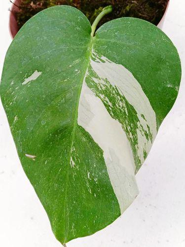 Jenis tanaman hias termahal Monstera versi variegat