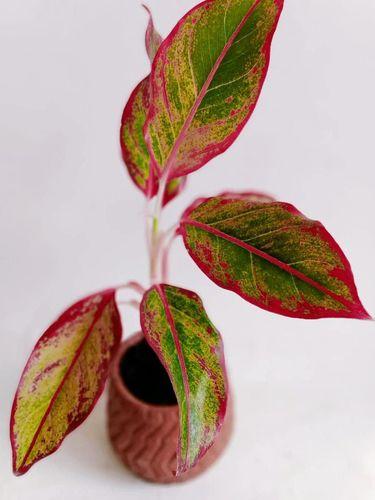 Jenis tanaman hias Aglaonem