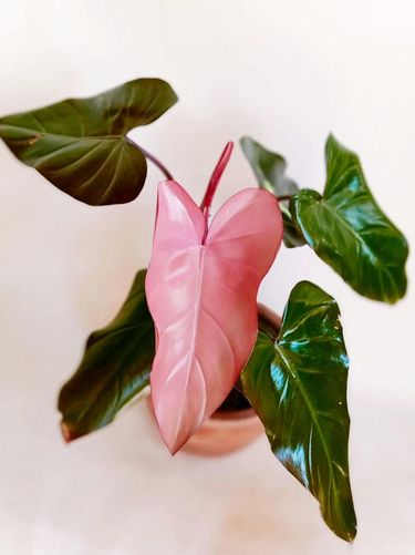 Jenis tanaman hias Philodendron