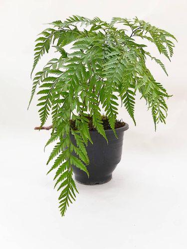 Jenis tanaman hias pakis-pakisan