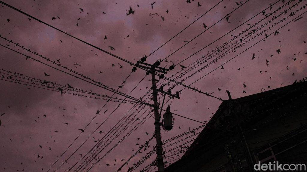 Fenomena Migrasi Ribuan Burung di Yogyakarta