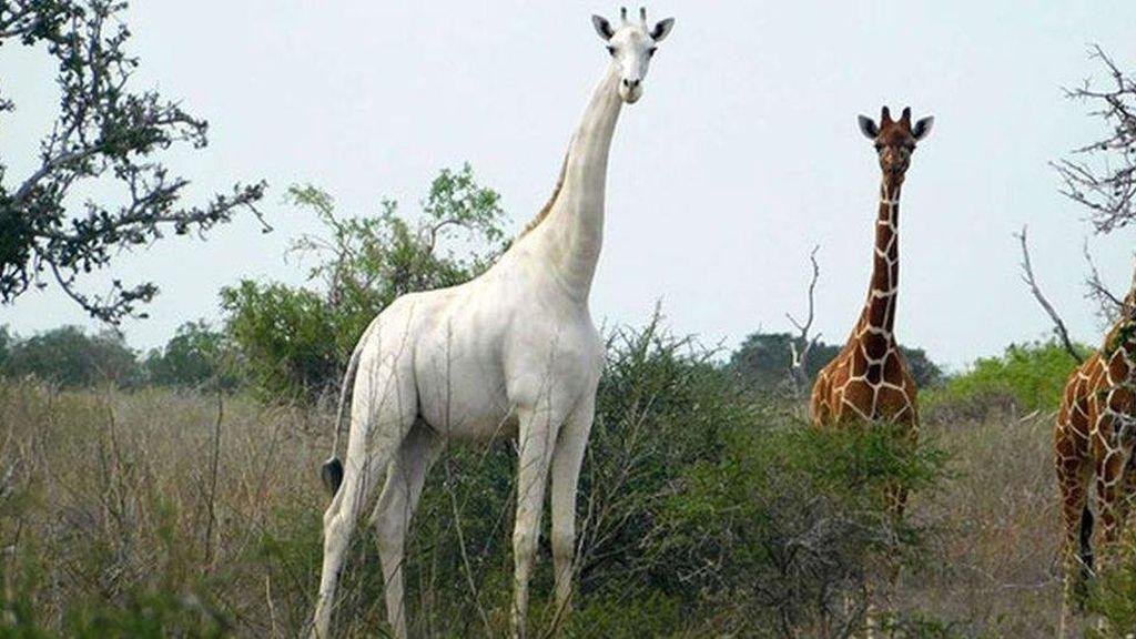 Jerapah Putih Terakhir di Dunia Dipasangi Alat Pelacak Agar Aman dari Pemburu