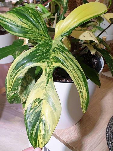 Philodendron Florida Beauty Variegata