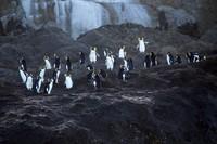 Kepulauan Tristan de Cunha ini adalah rumah bagi banyak spesies unik, ada paus sikat selatan dan anak-anaknya, paus paruh gembala yang sulit ditangkap, hiu sevengill, elang laut hidung biru yang terancam secara global, dan burung petrel Atlantik.Di sini juga ada 80% populasi anjing laut berbulu Antartikadan habitat bagi 90% populasi penguin rockhopper utara (Foto: iStock)
