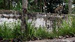 Merapi Siaga, Monyet di Klaten Turun Gunung